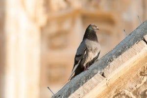 holub na streche