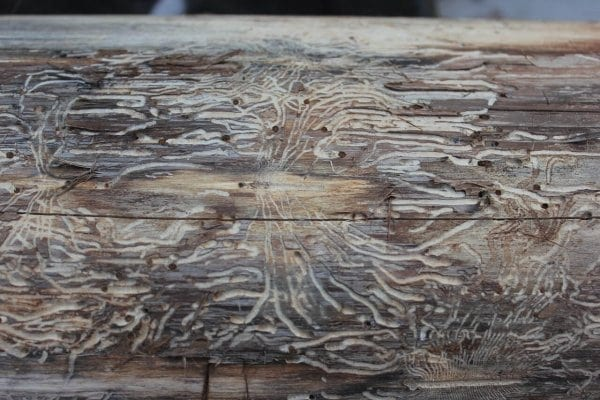 cervotoc-v-streche-prevencia-a-odstranenie-detail-dreva-po-drevokaznom-hmyze