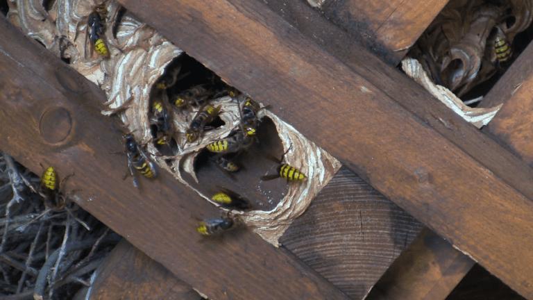 osie-hniezdo-v-streche