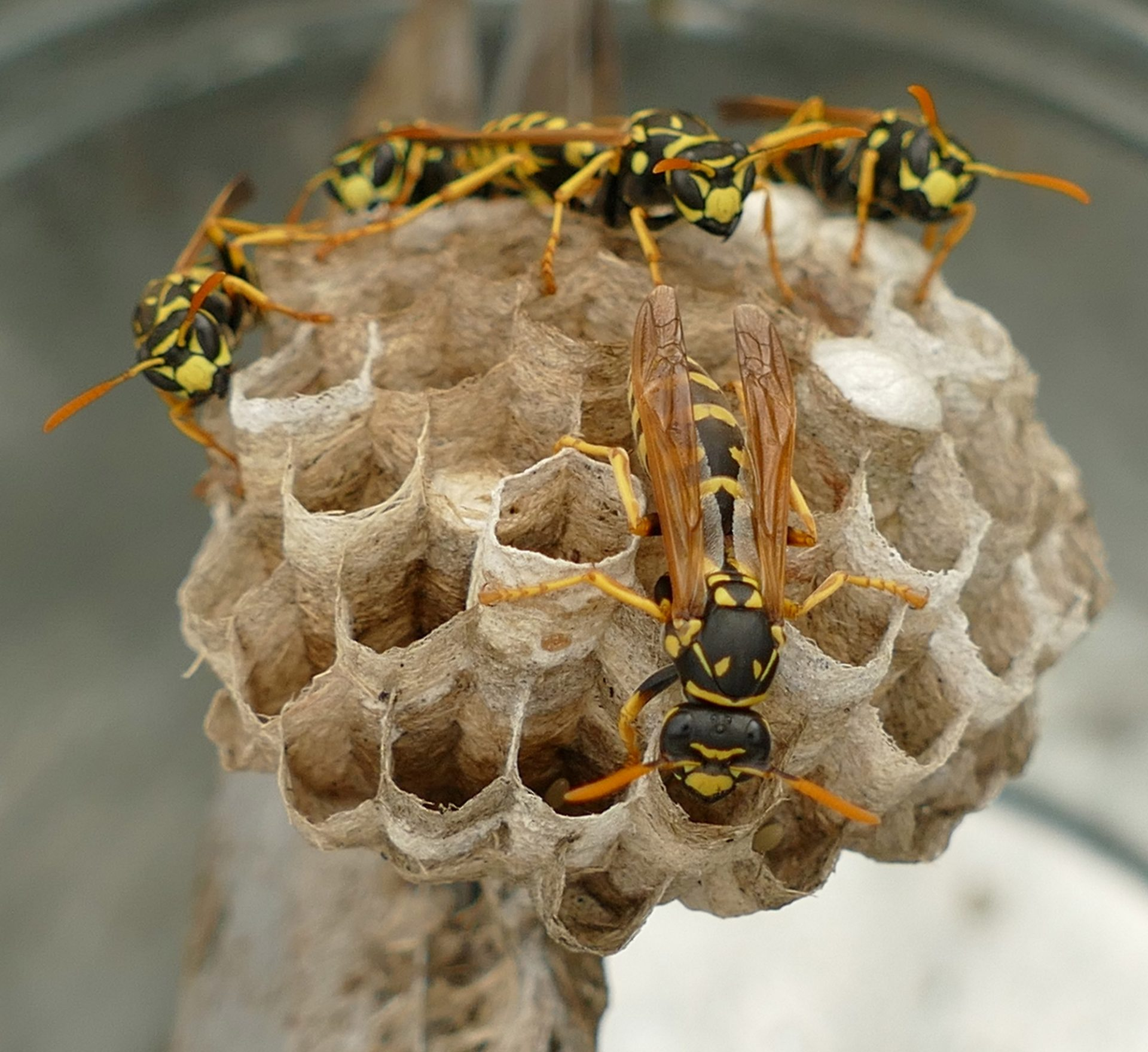 SOS: Mám pod strechou včely, osy a sršne