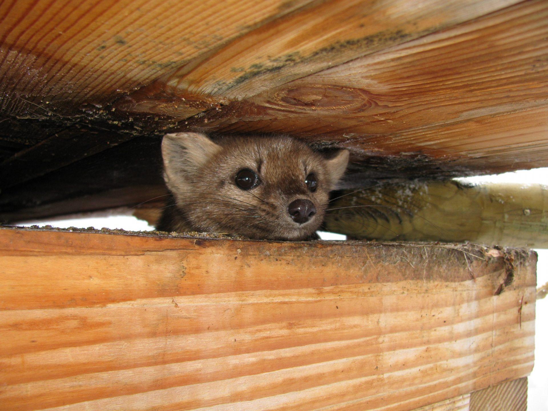 Máte v streche kunu?